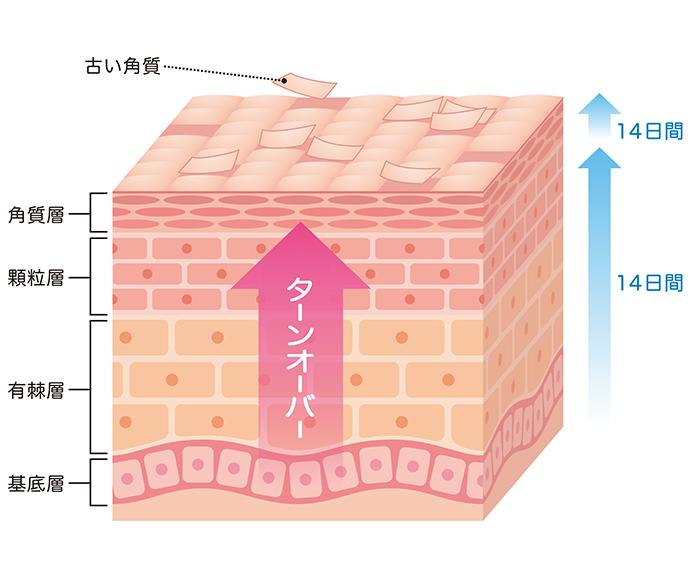 ターンオーバーの周期の図