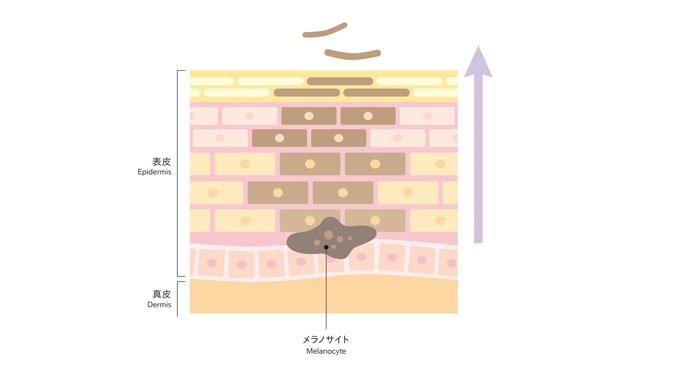 メラニンの生成図